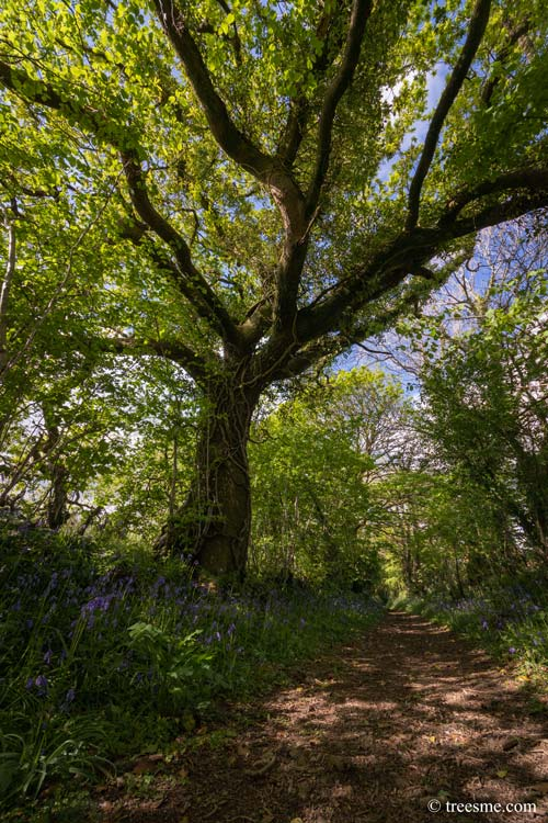 Muddy Lane - Fresh New Leave's and the Bluebells